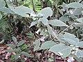 Strobillanthes wightiana-1-chemunji-kerala-India.jpg