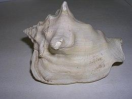 Strombus buvonius.4 - Pleistoceno