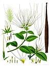 Strophanthus hispidus - Köhler–s Medizinal-Pflanzen-131.jpg