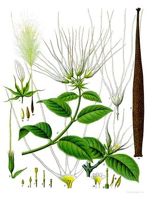 Strophanthus hispidus, Illustration