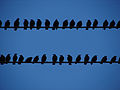 Sturnidae 06711 Starling.jpg
