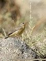 Sulphur-bellied Warbler (Phylloscopus griseolus) (48332259361).jpg