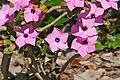 Summer Impala Lily (Adenium swazicum) (16255300888).jpg
