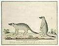 Suricata suricatta (Meerkats), Gordon drawing.jpg