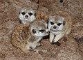 Suricata suricatta - Maroparque 02.jpg
