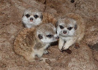 Young Meerkats (Suricata suricatta); Maroparque, Breña Alta, La Palma
