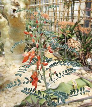 Sutherlandia frutescens - Image: Sutherlandia frutescens 01