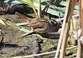 Swamp Sparrow (26282133362).jpg
