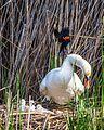 Swan with Cygnets.jpg