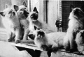 Sylvia Holland's Balinese Kittens.png