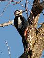 Syrian-Woodpecker-20051218m023.jpg