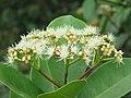 Syzygium caryophyllatum - South Indian Plum at Mayyil (10).jpg