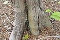 Syzygium samarangense Cham Poo Savey 0zz.jpg