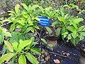Syzygium travancoricum-1-JNTBGRI-kerala-India.jpg