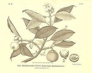 Mangosteen (Garcinia mangostana), illustration