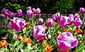 TULIPS from MONDORF-LES-BAINS, Luxembourg.jpg