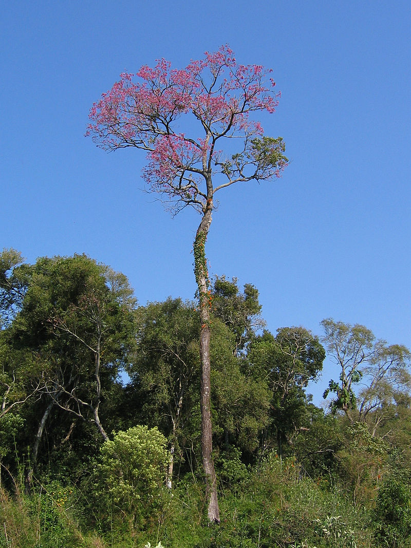 Lapacho-Baum - Tayi