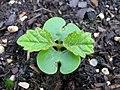 Tabebuia sprout.jpg