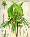 Tacca leontopaloides CBM.png