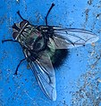 Tachinid bristle bum fly wings.jpg