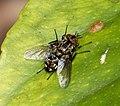 Tachinidae, Nemorilla floralis (37413912830).jpg