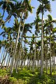 Taiwan 2009 WuHe County Tea Plantation Areca Palm FRD 6185.jpg