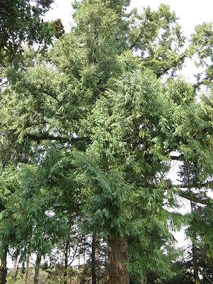 Taiwania cryptomerioides3.jpg