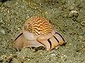 Tanea undulata (Moon Snail).jpg