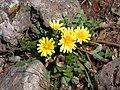 Taraxacum cyprium 2.jpg