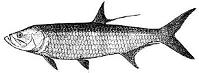 Description de l'image Tarpon.jpg.