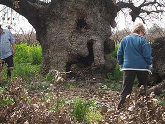 Tayibe - Tayibe oak tree