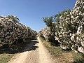 Tenute Bonaria (Alghero) - lauriers roses.JPG