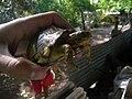 Terrapene carolina yucatana (3804900916).jpg