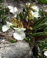 Teucrium montanum PID1713-1.jpg