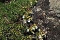 Teucrium montanum kz02.jpg