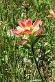 TexasIndianPaintbrush-0796.jpg