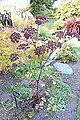 Thalictrum delavayi - Mendocino Coast Botanical Gardens - DSC02265.JPG