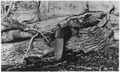 The beaver, one of natures best engineers, is not always right. The picture above was taken on the Black River on the... - NARA - 295196.tif