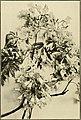 The ornamental trees of Hawaii (1917) (14579351879).jpg