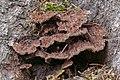 Thelephora terrestris, Hartelholz, Múnich, Alemania, 2020-11-28, DD 216-266 FS.jpg