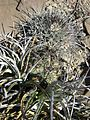 Thelocactus rinconensis and Echinocactus horizonthalonius (5729794908).jpg