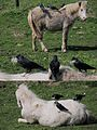 These Jackdaws (Kauwtjes) know the way how to collect good nest material. The horses don't bother - panoramio.jpg