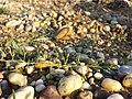 Thesium ramosum sl45.jpg