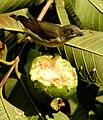 Thick-billed Flowerpecker Dicaeum agile by Raju Kasambe 04.jpg