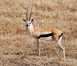 Thompson gazelle.jpg