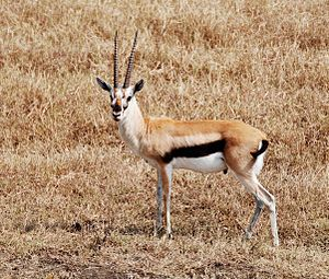 Eudorcas - Thomson's gazelle - Serengeti region of Kenya and Tanzania