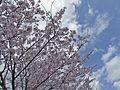 Thousand Sakura tree of Kabake river , 鹿化川 千本桜 - panoramio (3).jpg