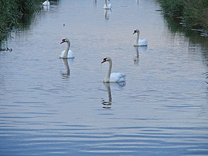 English: Three Fine Swans All in a graceful pr...