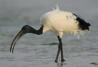 African sacred ibis - Foraging in Mida Creek mud flats, Kenya