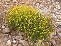 Thymophylla pentachaeta var belenidium 1.jpg